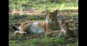 Lynx II - Dad and son by moem-photography