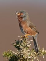 Singing Dartford Warbler by Jamie-MacArthur