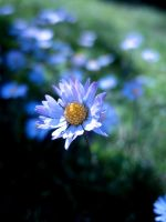 Just a flower by PipFish