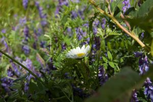 Daisey in Pea Vine by ByronGiant
