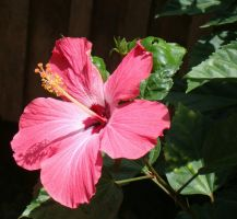 hibiscus by adamyayad