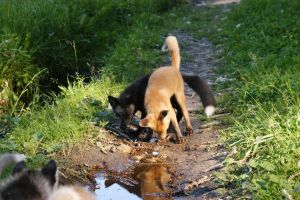 Young fox and puppies husky4 by foxsvir