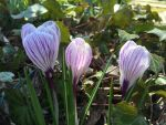 Striped Beauties by Ahopper1996