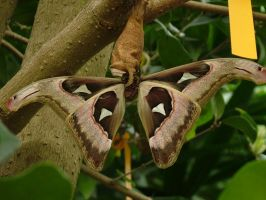 atlas moth by shochinbugstock