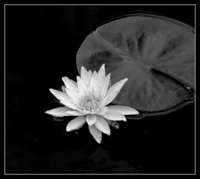 Water Lilly BW by evaPM