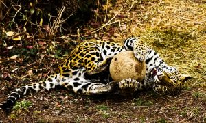 jaguar146 by redbeard31