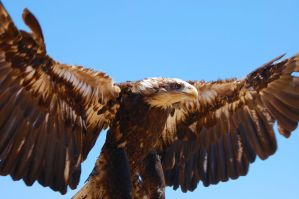 fishing eagle by odinemb