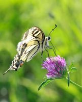 Yellow swallowtail by VeVe-350Z