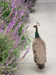 Female Peacock by ShipperTrish