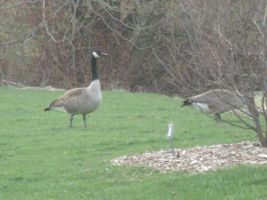 geese by darknesslover009