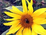 Photogallery 2015 - 27 bee on flower by Ingnition by Ingnition