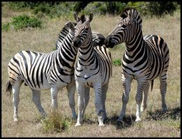 Playful Zebras by mikewilson83