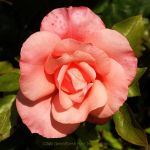 A Rose for Eileen by EarthHart