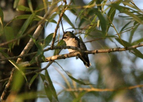 Female Humming bird 8-25-15 by Part-Time-Cowboy