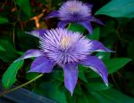 The Lone Clematis by charmedy