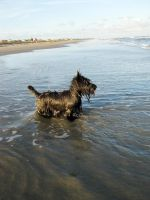 Scottish Terrier Strikes a Pose at the Beach by winterface