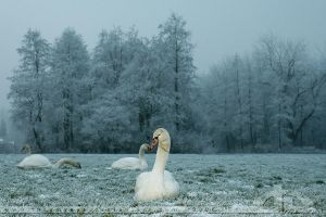 Swans in the Mist by thrumyeye