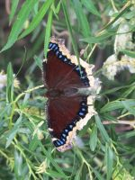 Mourning Cloak Butterfly 3 by Windthin