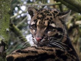 2014 - Clouded leopard 2 by Lena-Panthera