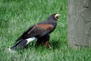 Harris Hawk Chowing Down by 8TwilightAngel8