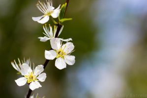 :: New Blossoms :: by AmyranthPhotography