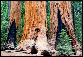 Sequoia 2 by Belgarion115
