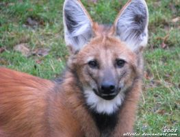 Maned wolf: Sweet eyes by Allerlei