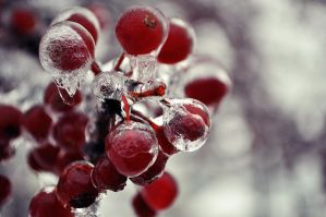 Iced Reds by AllegroPhotography