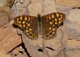 Speckled Wood by Dieffi