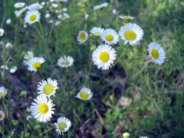 Fleabane by Neriah-stock
