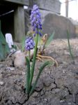 Grape Hyacinth stock by NetherStray