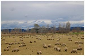 Lot of sheeps by oxalysa