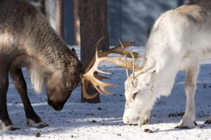 Lappish Reindeer fighting by adrianoceliento