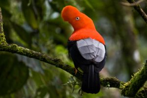 Andean Cock-of-the-Rock by perubirder