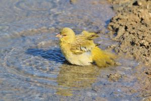 Masked Weaver - Cooling Off and Summer Swim by LivingWild