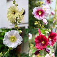 Hollyhocks by Okavanga