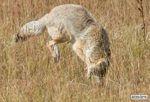 Coyote pounce 2 by jaffa-tamarin