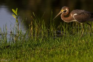 Tricolor hunting in the morning by CyclicalCore
