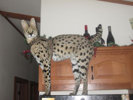 my serval turned 1 year today by savannah-1