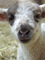 Easter lamb by Tricia-Danby