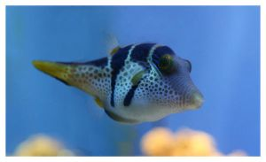 Canthigaster Valentini by art4oceans