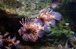 Aquarium - Lion Fish by BPHaines