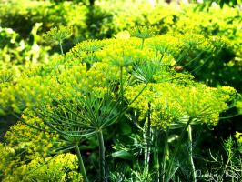 Dill by dorotejabloodthirsty