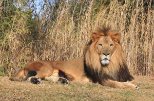 African male lion by charfade