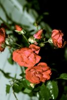 antiqued roses by tashanzac