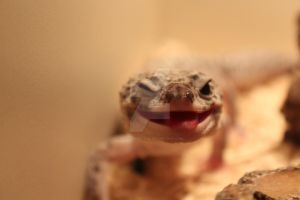 Leopard Gecko by mr-clandestine
