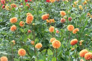 field of orange dahlias by ingeline-art