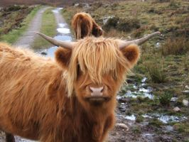 Highland Cow by socialtailor