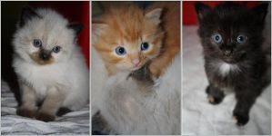 Chatons by B-ulle