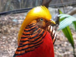 Golden-Crested Pheasant by Passion-For-Pictures